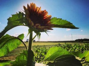 Sunflower-1-1040w