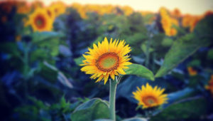 Sunflower-2-1040w