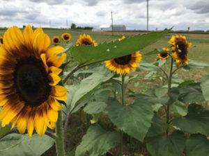 Sunflower-3-1040w