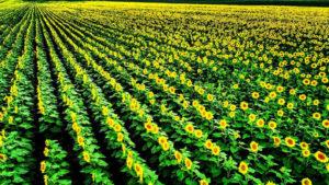 Sunflower-4-1040w