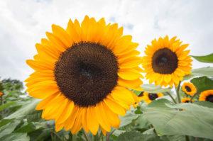 Sunflower-5-1040w