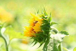 Sunflower-6-1040w
