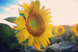 Sunflower-7-1040w