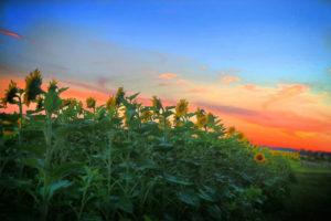 Sunflower-8-1040w