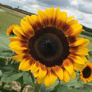 Sunflower-square-1