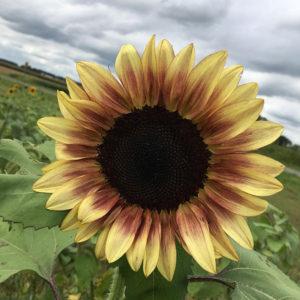 Sunflower-square-2