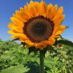 Sunflower-square-3