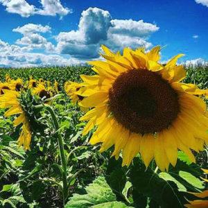 Sunflower-square-4