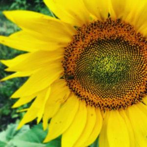 Sunflower-square-5