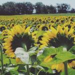 Sunflower-square-6